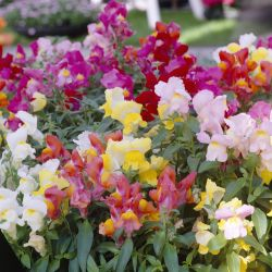 Antirrhinum 'Appeal' Collection | A Tray of 40 Cell Plug Plants